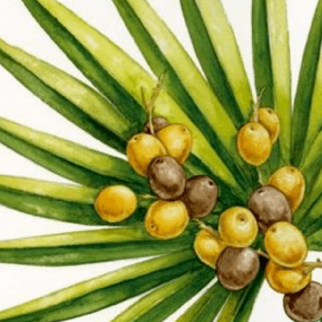 Saw Palmetto Extract for Mens Hair Growth